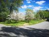 Apple trees in ful bloom